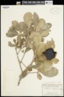 Image of Diospyros californica
