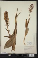 Platanthera psycodes image