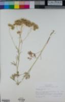 Hymenothrix wislizeni image