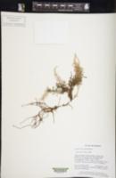 Image of Lindsaea carvifolia