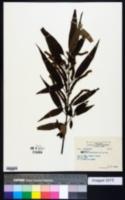 Image of Boehmeria densiflora