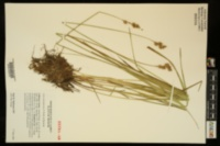 Image of Carex missouriensis