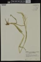 Panicum anceps image