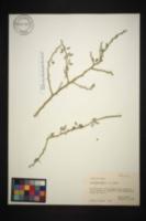 Cercidium macrum image