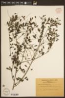 Indigofera caroliniana image
