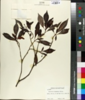Image of Psychotria bahamensis