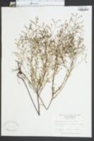 Lechea leggettii image