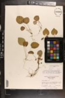 Viola blanda image