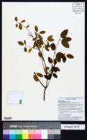 Image of Euphorbia gaumeri