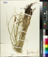 Carex brachyglossa image