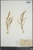 Image of Salicornia herbacea