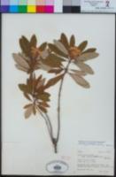 Rhododendron columbianum image