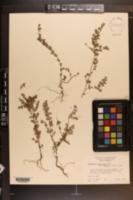 Image of Chamaesyce x keyensis