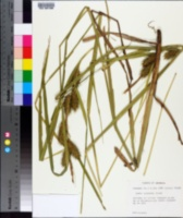 Carex gigantea image