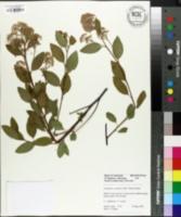 Image of Ceanothus x pallidus
