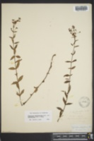 Hypericum denticulatum var. acutifolium image