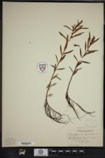 Proserpinaca palustris var. crebra image