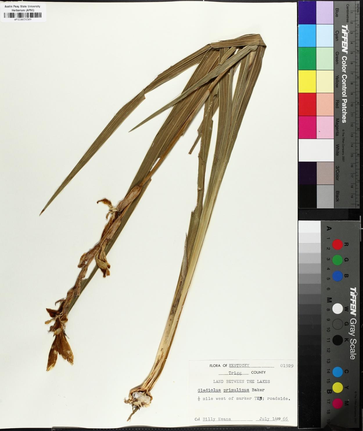Gladiolus primulinus image