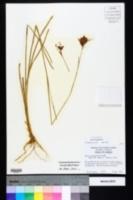 Juncus longii image