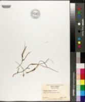Halodule wrightii image