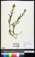 Solidago missouriensis var. fasciculata image