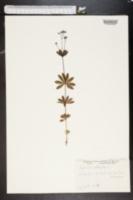 Asperula odorata image