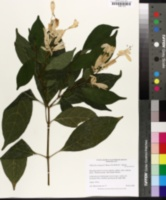 Whitfieldia elongata image