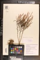 Image of Salicornia depressa