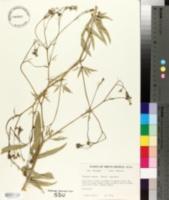 Falcaria sioides image