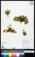 Oxytropis oreophila var. juniperina image