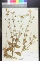 Image of Capsicum luteum