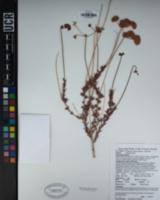 Eriogonum fasciculatum var. flavoviride image