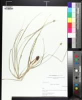 Image of Carex mesochorea