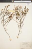 Image of Ceanothus microphyllus