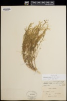 Camissonia pubens image