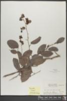 Tetracera volubilis image