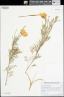 Hunnemannia fumariifolia image