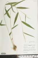 Brachyelytrum erectum image