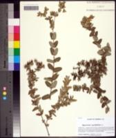 Image of Hypericum myrtifolium