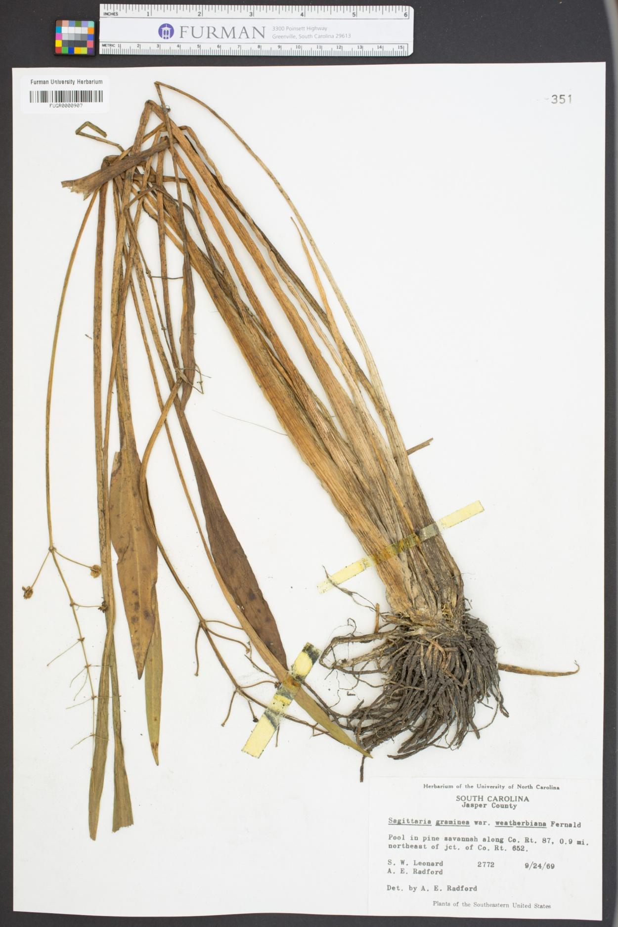 Sagittaria graminea ssp. weatherbiana image