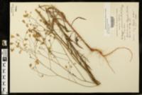 Croptilon divaricatum image