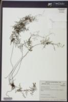 Image of Adiantopsis dichotoma