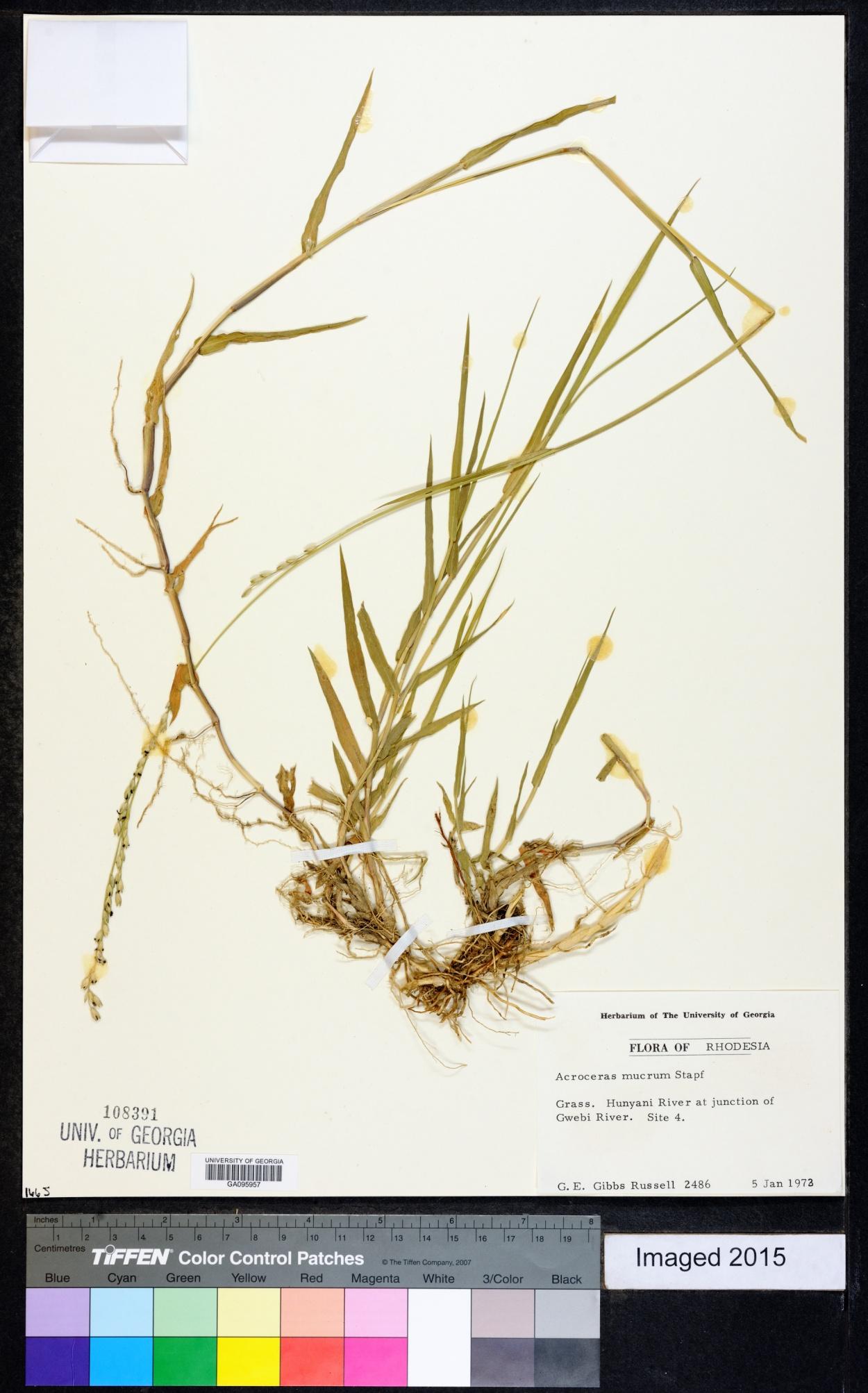 Acroceras macrum image