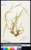 Image of Acroceras macrum