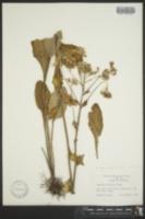 Image of Cacalia sulcata