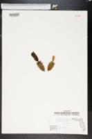 Schlumbergera truncata image