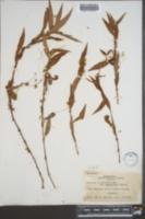 Cuscuta obtusiflora image
