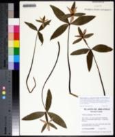 Trillium pusillum image