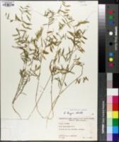 Vicia hugeri image