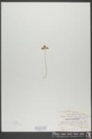 Anemonella thalictroides image
